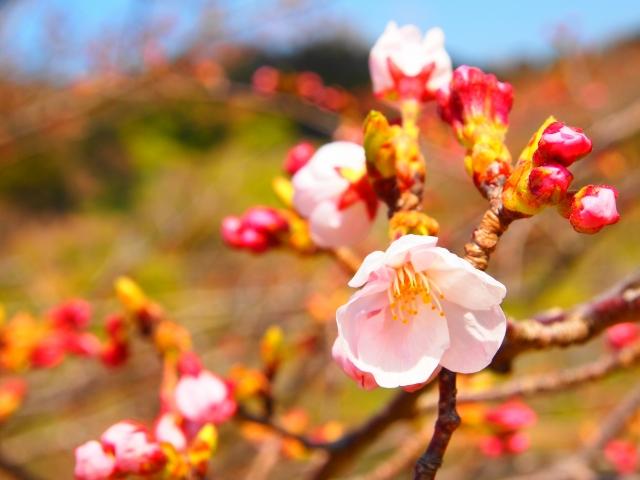 佐久間ダムの桜