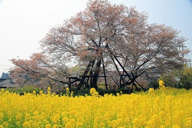 富士宮下馬桜