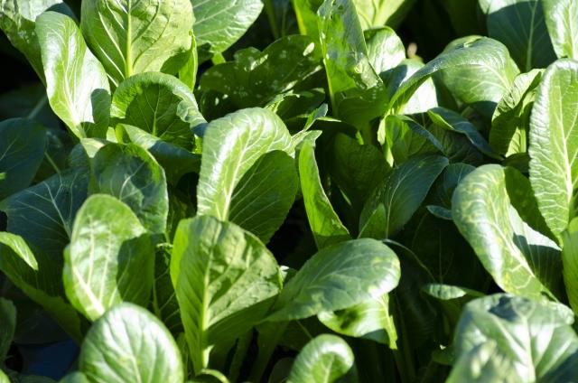 畑の小松菜