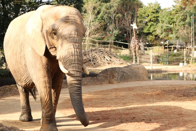 動物園の象